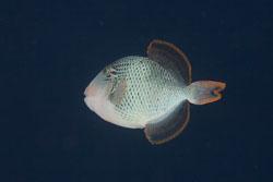 BD-150421-Maldives-7569-Pseudobalistes-flavimarginatus-(Rüppell.-1829)-[Yellowmargin-triggerfish].jpg